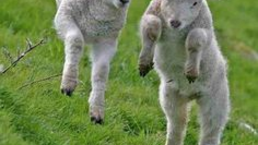 two lambs
