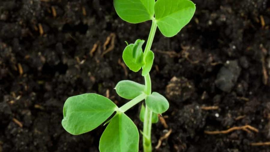 Pea-bigstock-Small-pea-plant-18673091-1024x1004